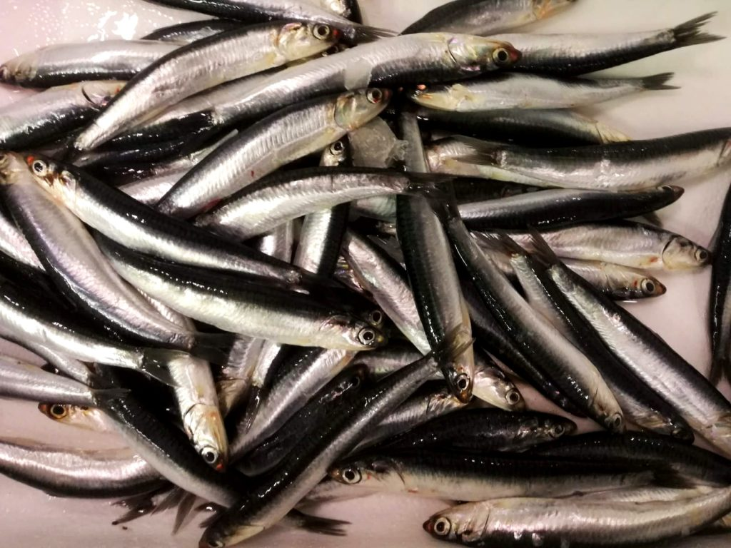 Freshly caught Cantabrian anchovies